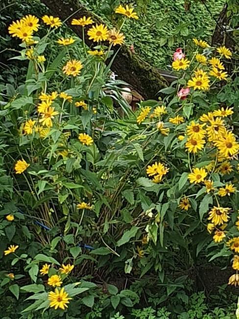 Waldsonnenblumen