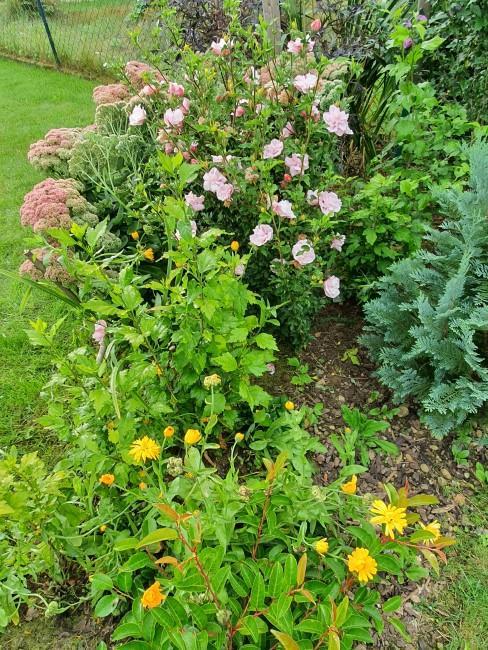 Fetthenne und andere Herbstblumen im Garten