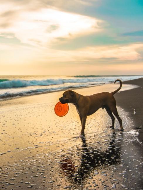 Hund mit Frisbee am Hundestrand