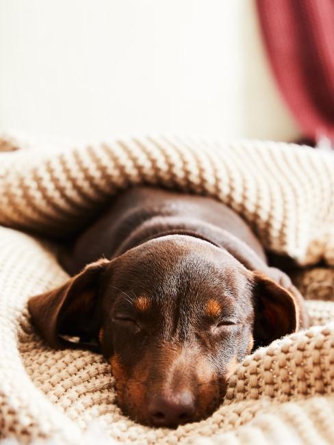 kleiner Hund in Decke gekuschelt