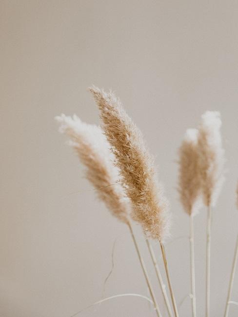 Pampasgras Winter Pflanze