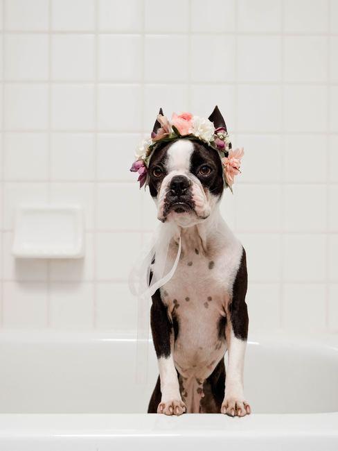 Bulldog francés en la bañera con una corona de flores rosas