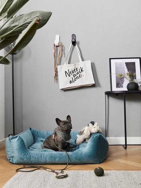 Bulldog francés con cama azul