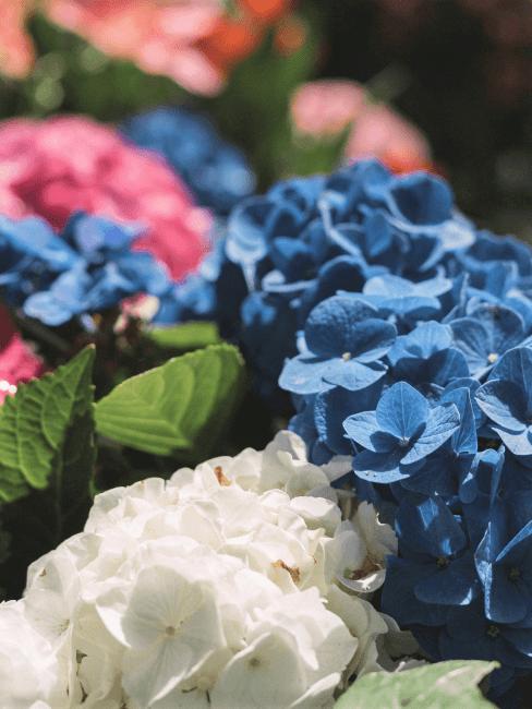 hortensia flores azules, blancas y rosas
