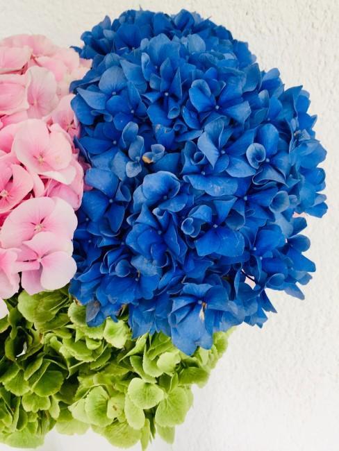 hortensias flores azules y rosas