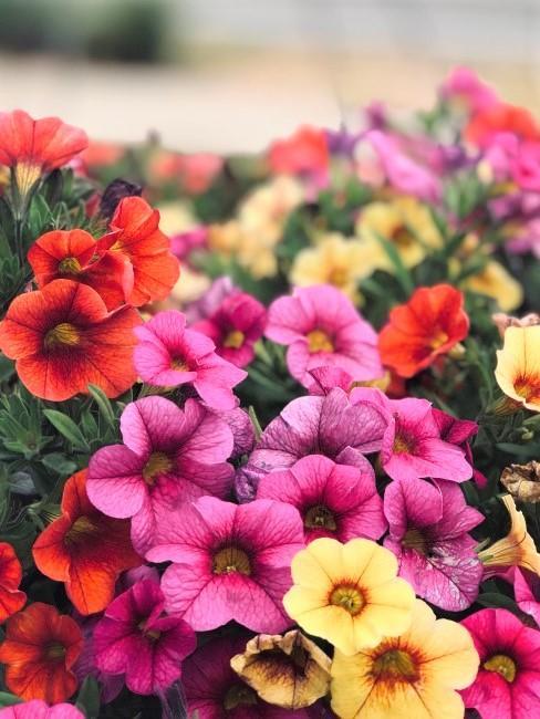 petunias flores de colores