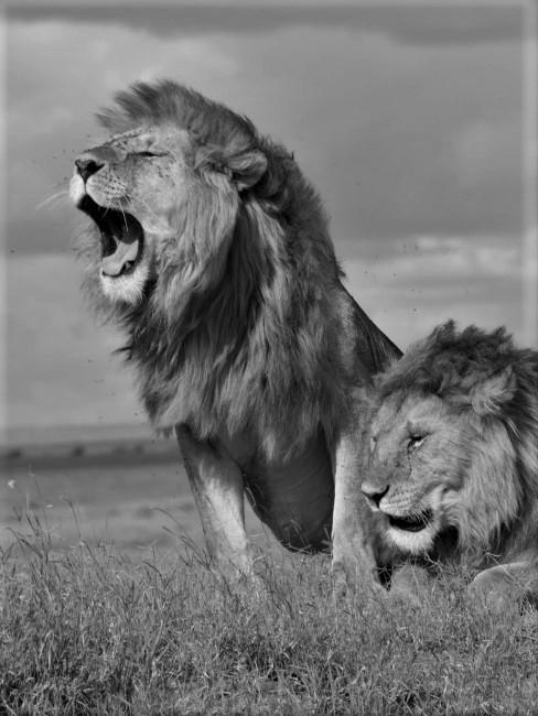 dos leones en la sabana