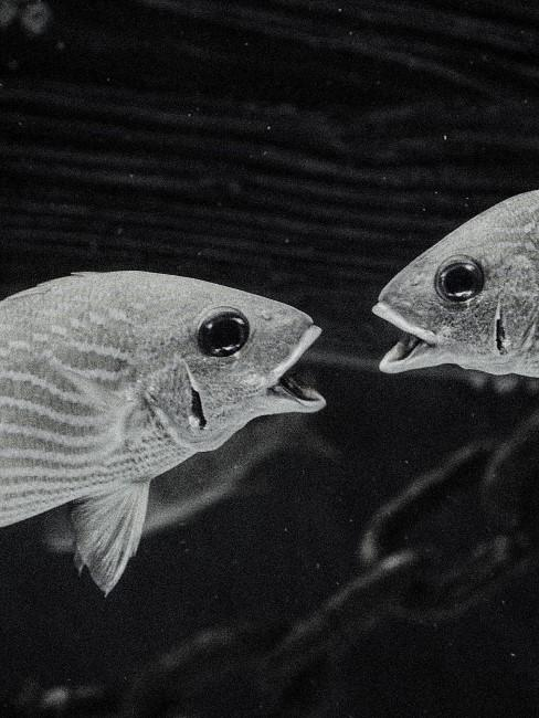 dos peces mirandose