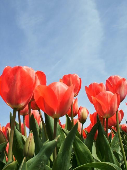 Tulipanes rojos con un cielo despejado