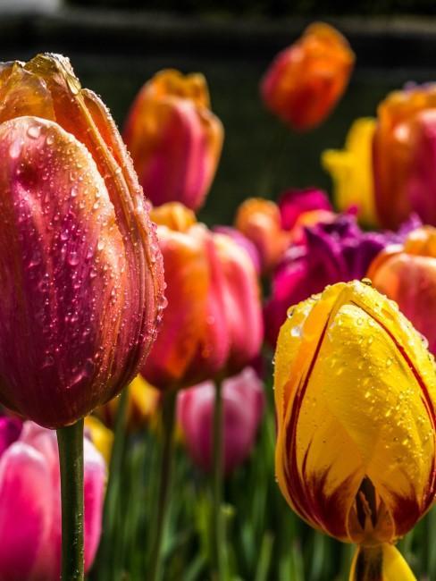Tulipanes de colores con agua de rocio
