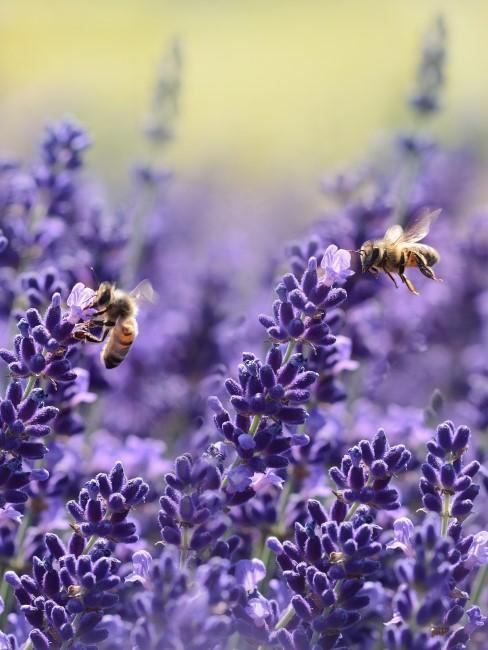 Lavanda con abejas