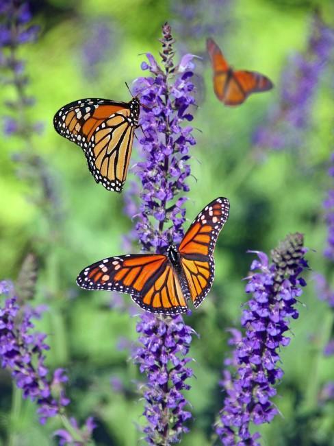 Lavandas con mariposas