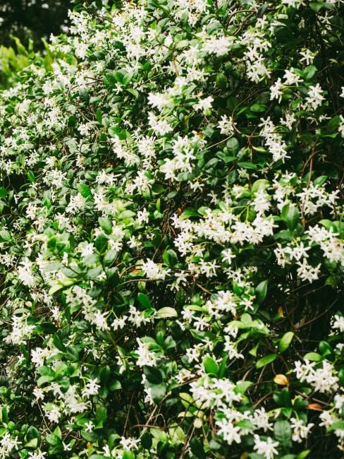 Un arbusto lleno de flores de jazmin