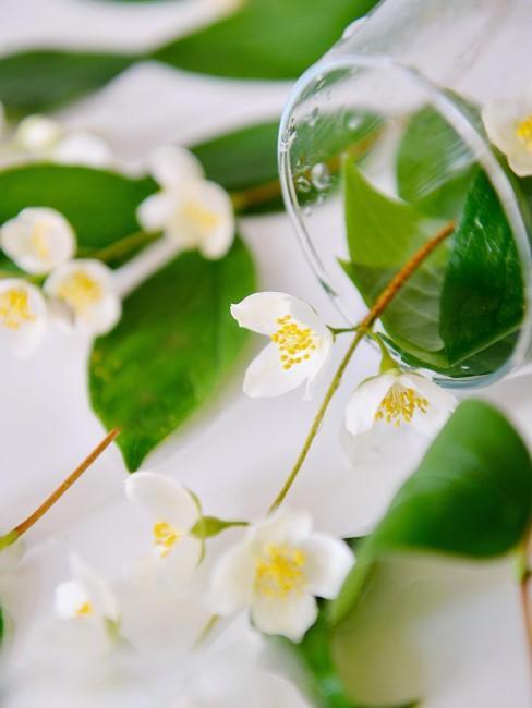 Flores de jazminen un florero