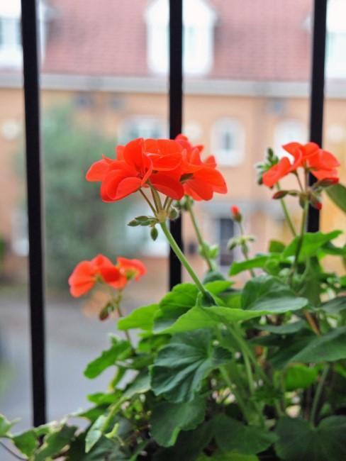 Geranios rojos en una ventana