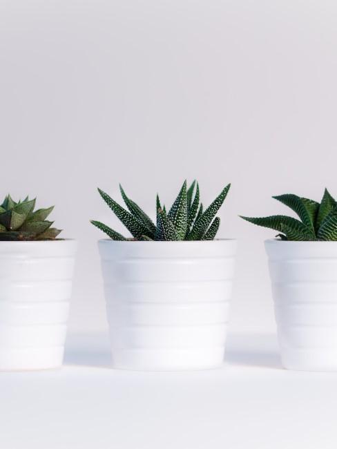 3 plantas en macetas blancas