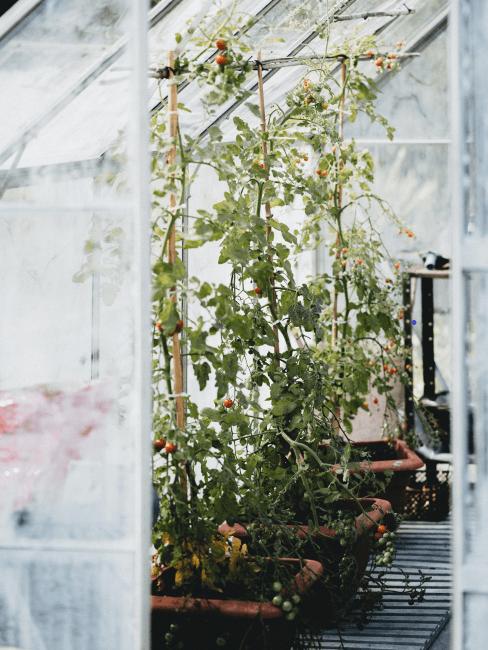 invernadero casero con plantas de tomates