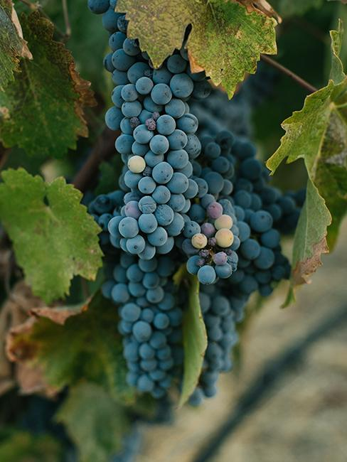 grappes de raison dans une vigne