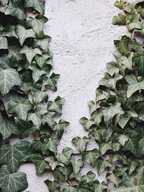 plantes grimpantes sur un mur