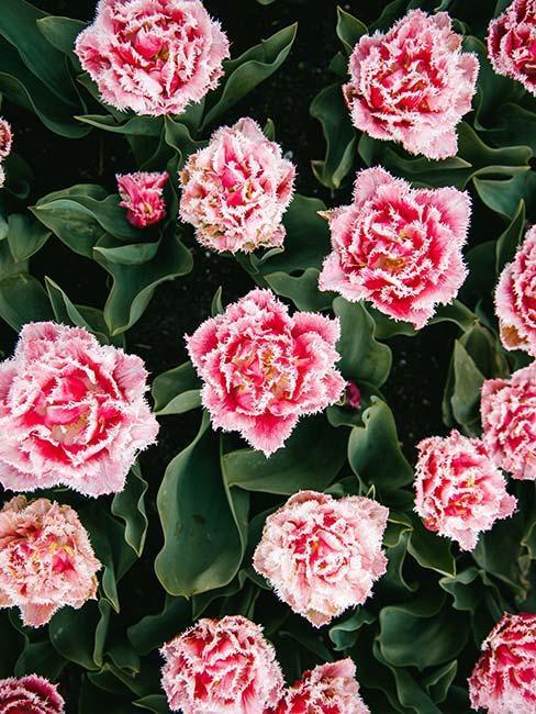 fleurs roses pour le balcon