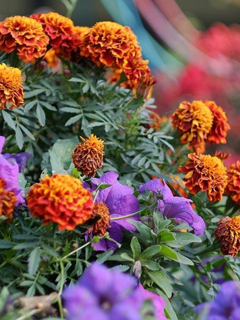 fleurs oranges et violettes