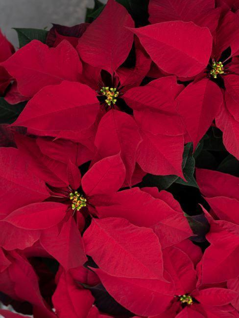 Un poinsettia, fleur en tant que cadeau de Noel
