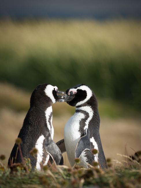 couple pingouins