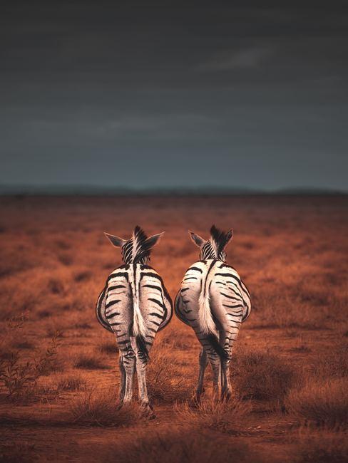couple de zèbres dans la savane de dos