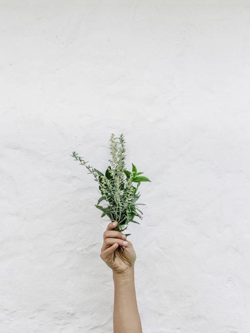 Bouquet de romarin tenu dans une main