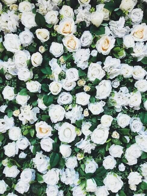 mur végétal avec des roses blanches