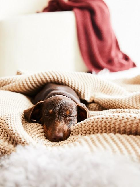 petit chiot brun endormi dans un plaid beige