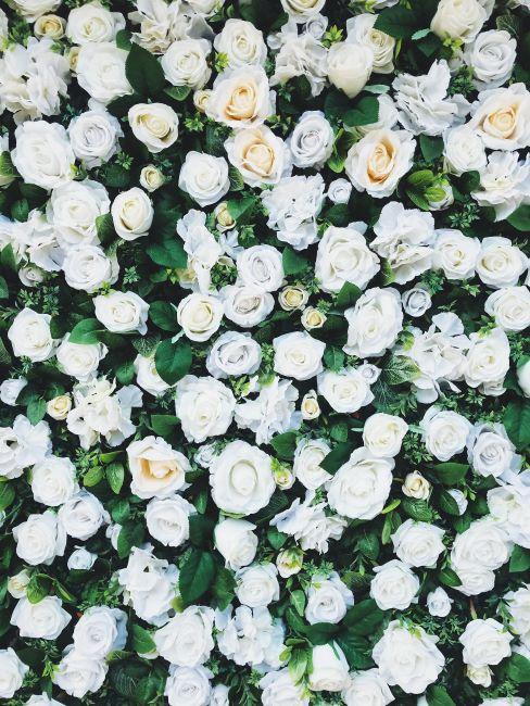 mur de roses blanches
