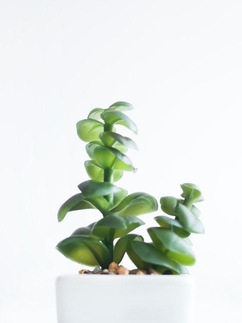 plante succulente dans un pot blanc