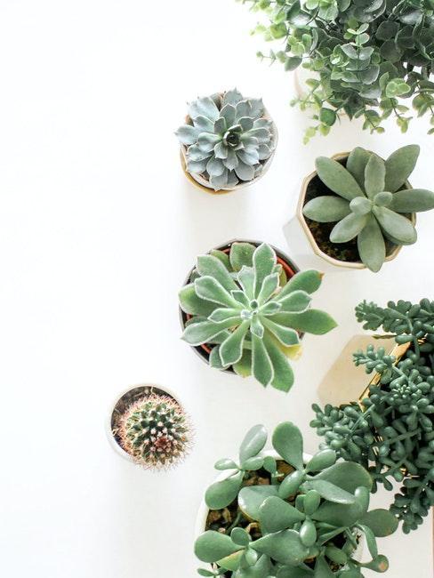 Differentes varietes de plantes succulentes