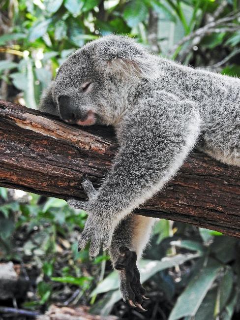 Kangourou endromi sur une branche dans la nature australienne