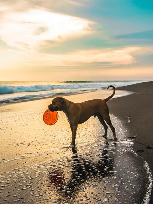 Chien avec un frisbee sur la plage
