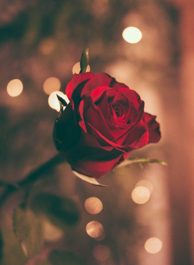 Rose rouge avec effet bokeh