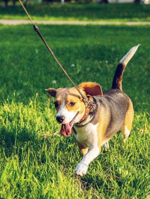 chien laisse herbe