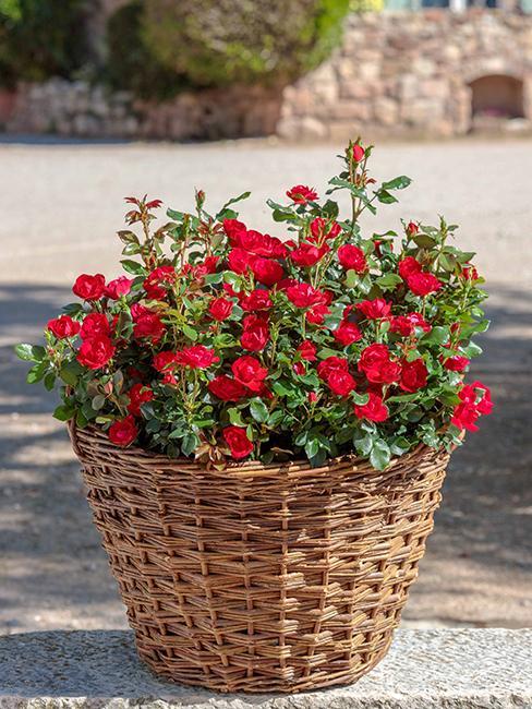 rosier-zepeti-rouge