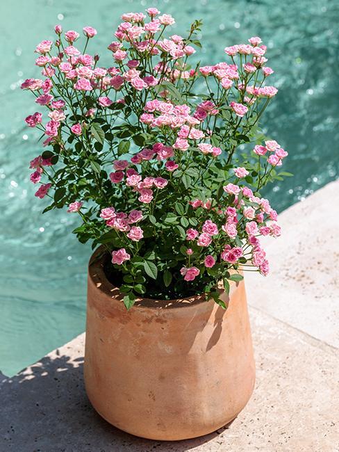 rosier-lilly-rose