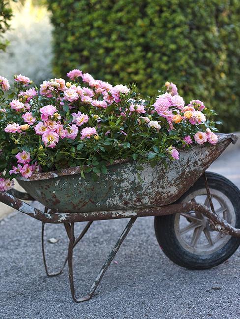 brouette-rosier