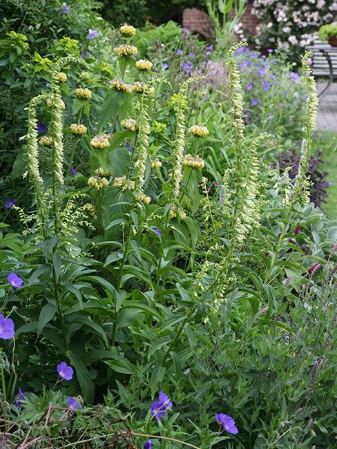 Digitalis lutea, Phlomis russeliana, Geranium vivace
