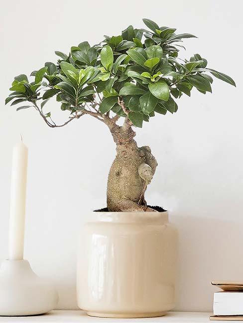 plante-bonsai