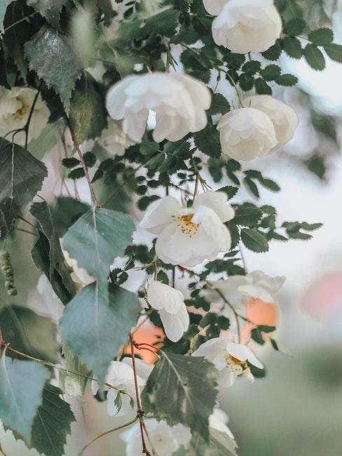 roses blanches dans un jardin anglais