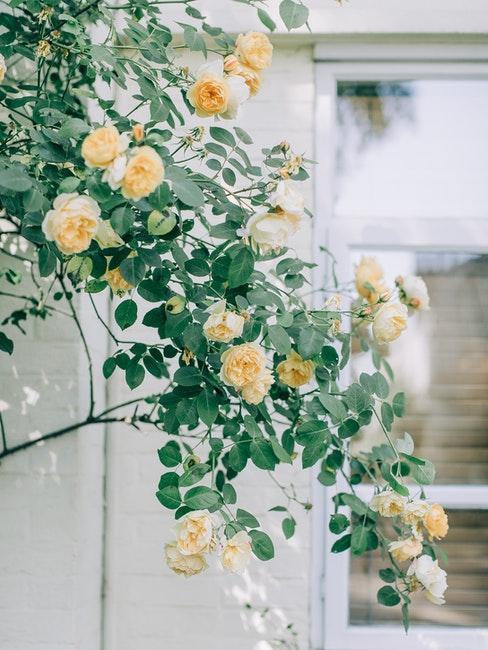 roses jaunes de jardin