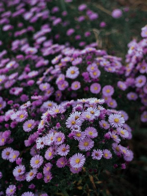 les asters violets pour jardin
