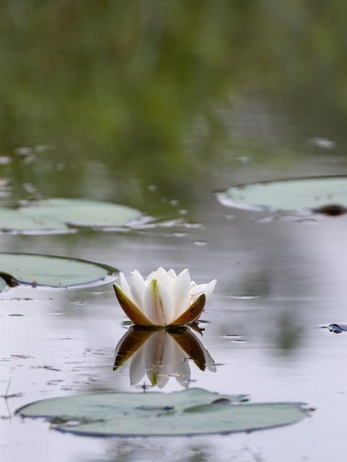 fleurs de lotus blanche