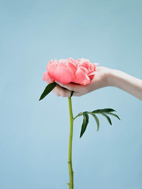 pivoine-rose