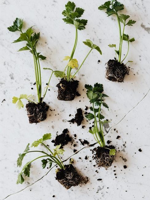 diverses herbes aromatiques pour potager