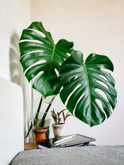 Pianta Monstera